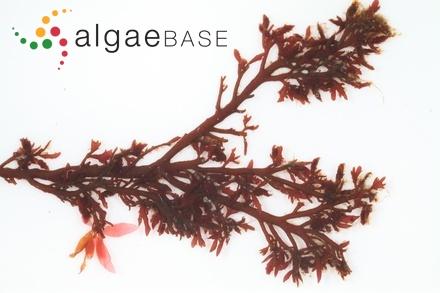 Leathesia umbellata (C.Agardh) Endlichter