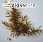 Sargassum hystrix var. fluitans Børgesen