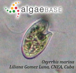 Oxyrrhis marina Dujardin