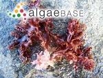 Hymenena multiloba (J.Agardh) Kylin