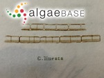 Melosira lineata (Dillwyn) C.Agardh