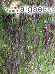 Phyllona linearis (Greville) Kuntze