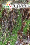 Porphyra umbilicalis var. linearis (Greville) A.D.Cotton