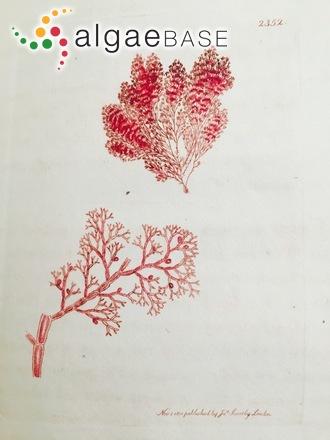 Callithamnion corymbosum (Smith) Lyngbye