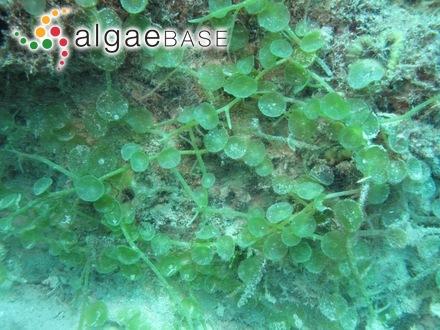 Anabaena constricta (Szafer) Geitler