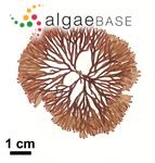 Dumontia furcellata (Turner) Bory
