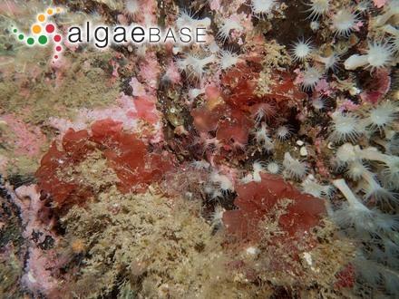 Microcoleus salinus (Kützing) Montagne
