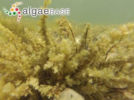Chamaecalyx swirenkoi (Sirsov) Komárek & Anagnostidis