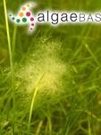Cladophora laetevirens (Dillwyn) Kützing
