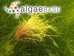 Gigartina confervoides var. gracilis (Stackhouse) S.F.Gray
