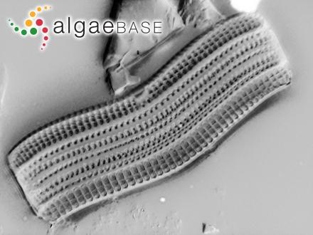 Mesophyllum rupestre (Foslie) Adey