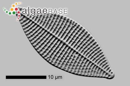 Lithophyllum verrucosum (Foslie) Foslie