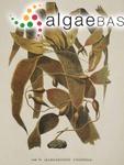 Laminaria pyrifera (Linnaeus) J.V.Lamouroux