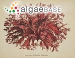 Kallymenia ornata (Postels & Ruprecht) J.Agardh