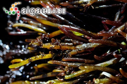 Gracilaria ramulosa J.Agardh