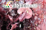 Lithothamnion lichenoides f. patena (J.D.Hooker & Harvey) Foslie