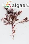 Gelidium capense (S.G.Gmelin) P.C.Silva