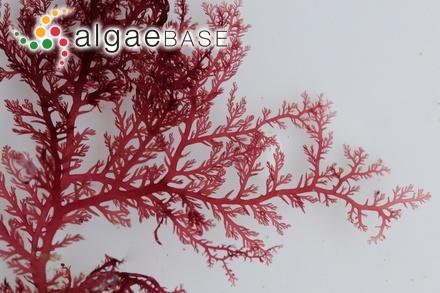 Rhodymenia halymenioides (J.Agardh) Womersley