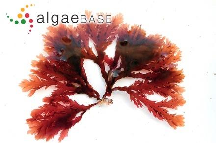 Gloiocladia fruticulosa (Harvey) R.E.Norris
