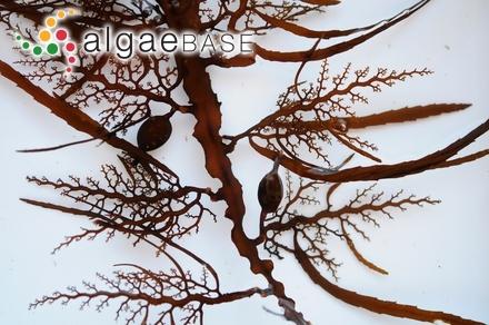 Champiocolax lobatus Womersley