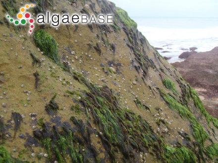 Chantransia collopoda (Rosenvinge) Rosenvinge