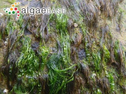Kylinia collopoda (Rosenvinge) Kylin