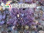 Amphiroa beauvoisii J.V.Lamouroux