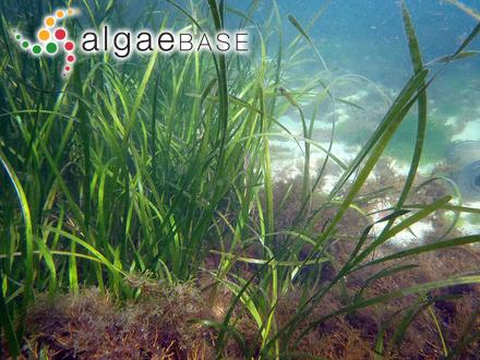 Erythroglossum subcostatum (J.Agardh) Ardré