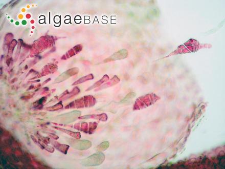 Ectocarpus siliculosus var. pygmaeus (Areschoug) Gallardo