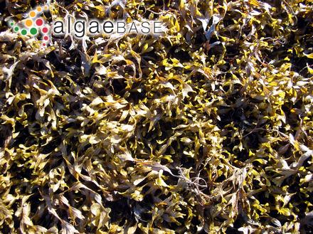 Cystophora cephalornithos (Labillardière) J.Agardh