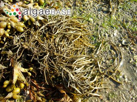 Ectocarpus maritimus (Kjellman) Rosenvinge
