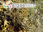 Ascophyllum nodosum (Linnaeus) Le Jolis