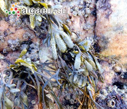 Fucus spiralis var. limitaneus (Montagne) I.M.Pérez-Ruzafa