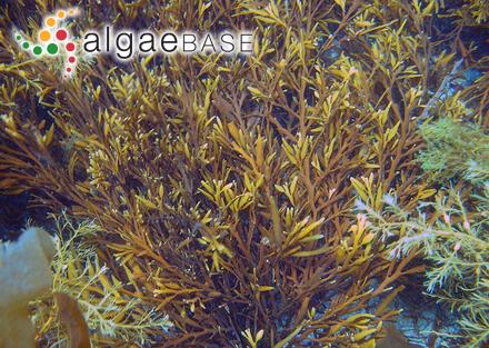 Castagnea virescens f. aestivales-autumnales Areschoug