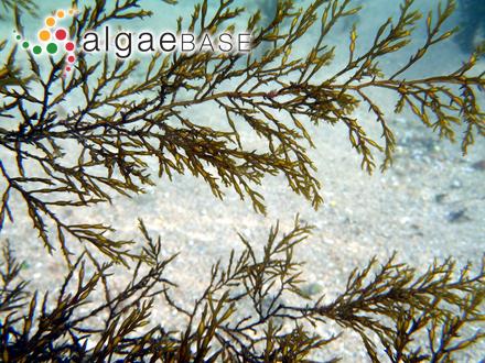 Mesogloia ekmanii Areschoug