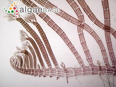 Sphacelaria cirrosa [cirrhosa] f. patentissima (Greville) Lund