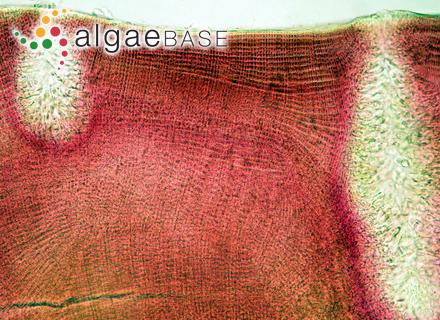 Myriactula caespitosa Womersley & Skinner
