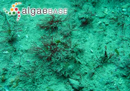 Dictyosiphon hippuroides f. stenocladus Strömfelt