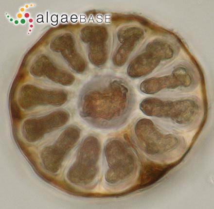 Sphacelaria harveyana Sauvageau