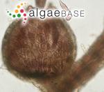 Lophosiphonia reptabunda (Suhr) Kylin