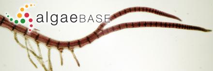 Halopteris spicigera (J.E. Areschoug) L.B.Moore