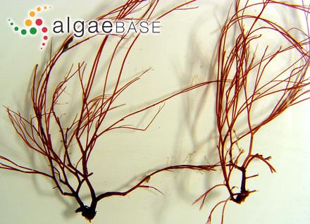 Ectocarpus littoralis subsp. firmus (C.Agardh) Kuckuck