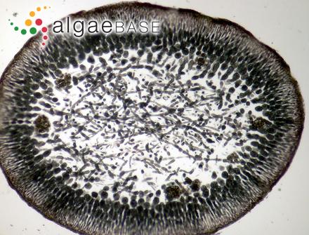 Ceramium ferrugineum (Roth) C.Agardh