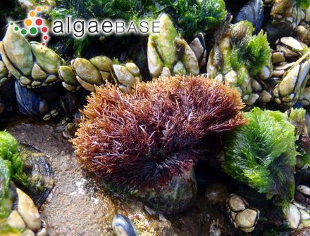 Sargassum scabripes J.Agardh