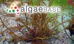 Fucus confervoides var. gracilis (Stackhouse) Turner