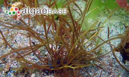 Sargassum rhyncophorum J.Agardh