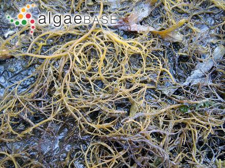 Gracilaria vermiculophylla (Ohmi) Papenfuss