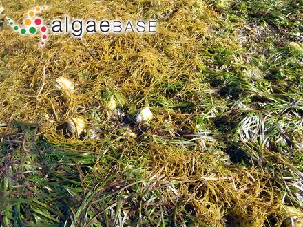 Halophila australis Doty & B.C.Stone