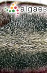 Fucus rotundus Hudson
