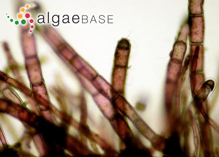 Punctaria rubescens (Lyngbye) J.Agardh